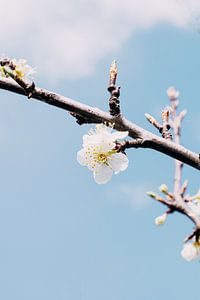 Blüte des Pflaumenbaums von Iris Brummelman