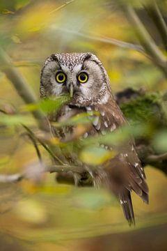 big eyes... Boreal Owl *Aegolius funereus* van wunderbare Erde