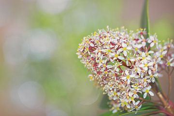 Skimmia (Rutaceae) von Carola Schellekens