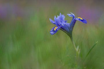Mini-Iris im Frühling von John van de Gazelle