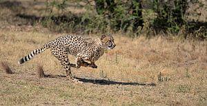 cheetah op snelheid! van Linda Manzaneque