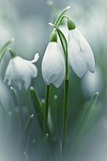 Silky Snowdrops (bloem, sneeuwklokje) van Bob Daalder