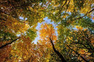 De gouden kronen in de herfst van
