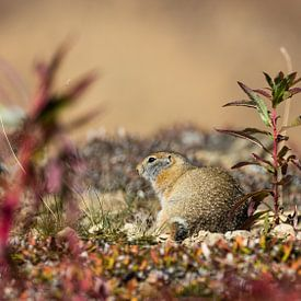 Arctische grond eekhoorn van Frits Hendriks