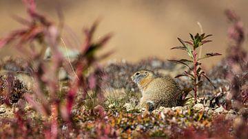 Arctische grond eekhoorn van