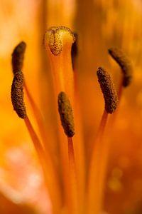 Feuerlilie im Dateil von