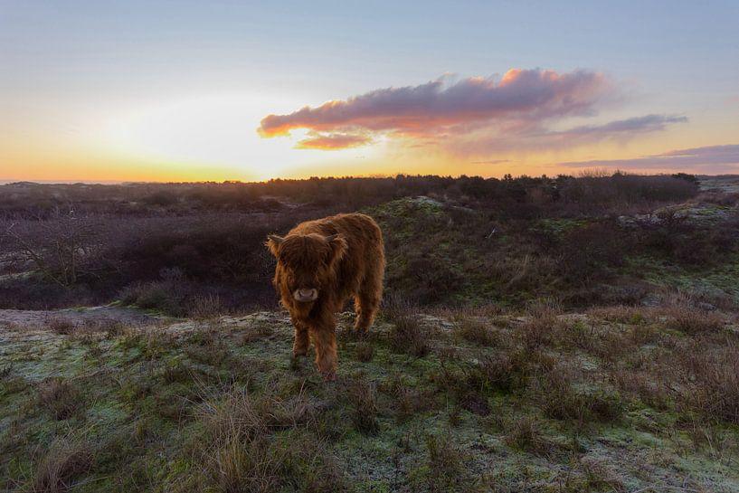Le veau écossais Highlander au sommet d'une dune vient vers moi sur Remco Van Daalen