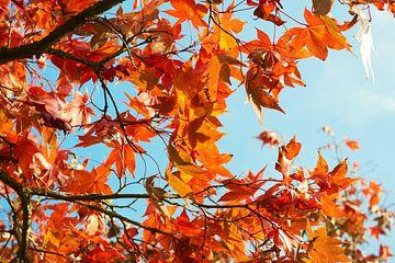 Ahorn in Herbstfarben 6910082149 Fotograf Fred Roest von Fred Roest