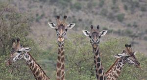 Giraffe Quartet van