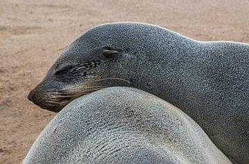 Lekker liggen, twee Kaapse pelsrobben, Cape Cross van