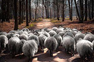 Makke schapen op weg
