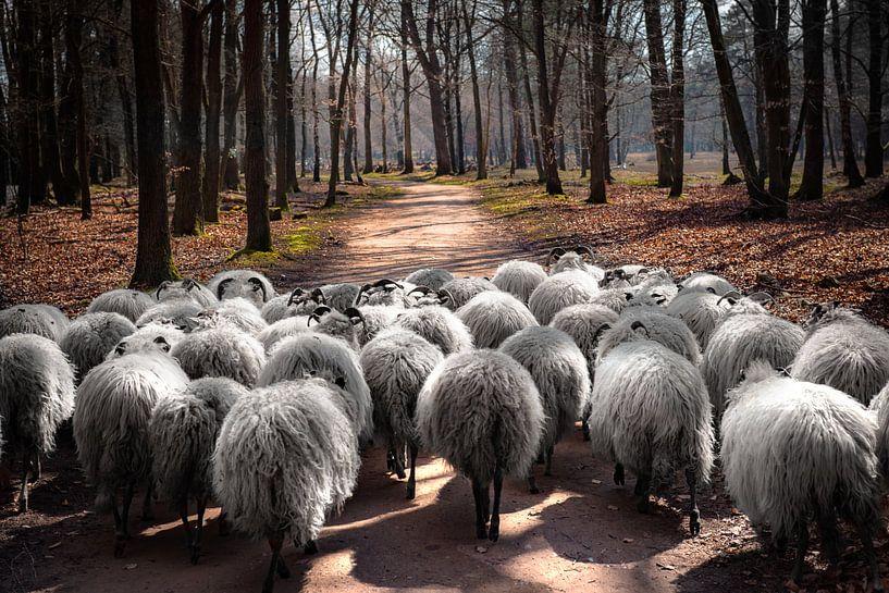 Makke schapen op weg van Peter Mensink
