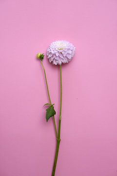 fleur de dahlia sur fond rose pastel sur Nfocus Holland