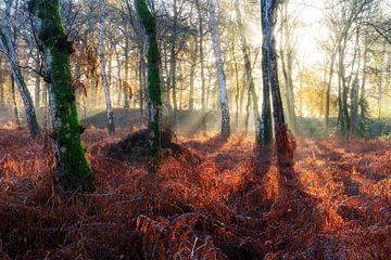 Zonnestralen in het berkenbos in de herfst van