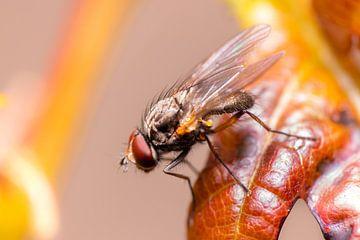 Winzige Fliege von Antoine Deleij