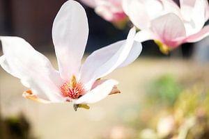 Magnolia in bloei van Lidewij Olive