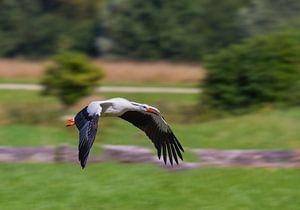 Junger Storch im Flug