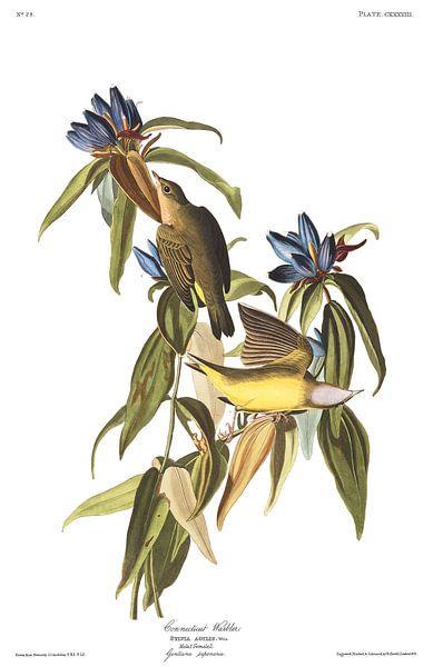 Connecticutzanger van Birds of America
