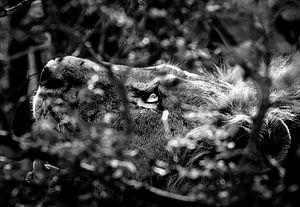 Zwart wit Leeuw in Kruger National Park van Jordi Woerts