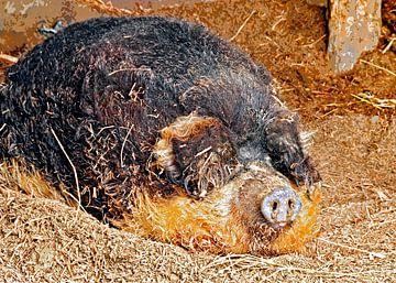 Wooly pig van Leopold Brix