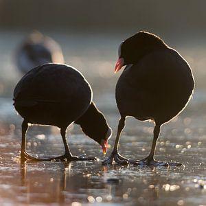 Vogels   Hé kijk uit waar je pikt! - meerkoeten ,  haven van Enkhuizen