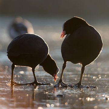 Vogels | Hé kijk uit waar je pikt! - meerkoeten ,  haven van Enkhuizen van Servan Ott