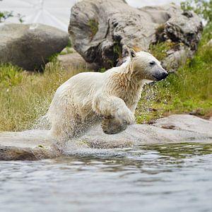 ijsbeer springt in het water van