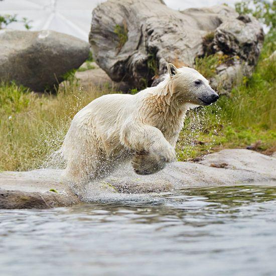 ijsbeer springt in het water