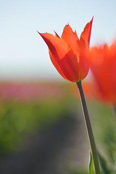 orange Tulpe von Jeffry Clemens