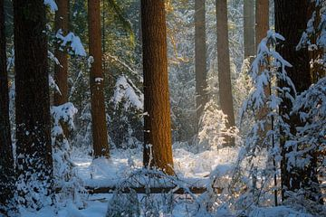 Prachtig licht in de bossen op de Kampina op een mooie winter ochtend met sneeuw. van Jos Pannekoek
