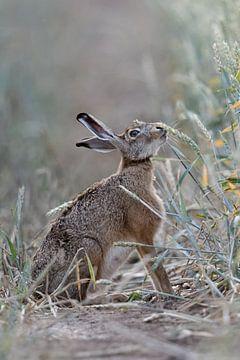 Haas / veldhaas ( Lepus europaeus ) eten op een veld van rijpe tarwe, wilde dieren, Europa. van wunderbare Erde