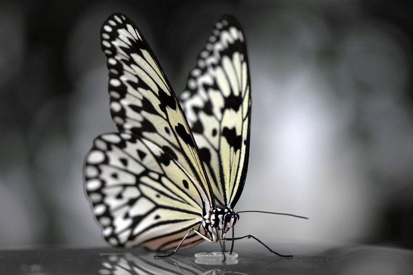 Vlinder in zwart wit sur Rene Mensen