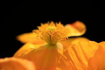 Mohnblumenblüte von Thomas Jäger