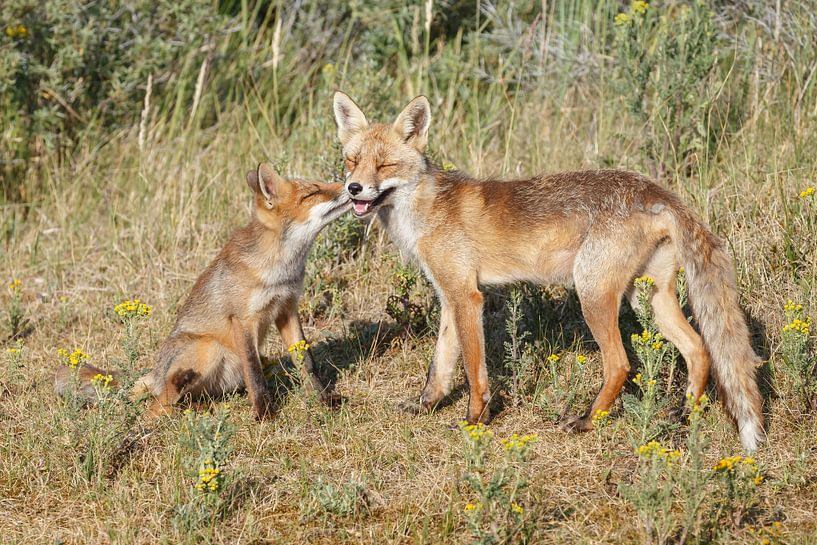 Moeder vos met haar welp van Menno Schaefer