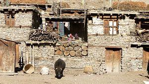 'Yak', Manang- Nepal van