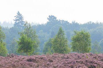 Heidelandschap met ochtendmist, Heiedebloesem, Niederhaverbeck, Lüneburger Heide-natuurpark, Nedersa van Torsten Krüger
