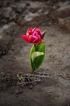 Speciale Tulp met contrast van Martine Moens