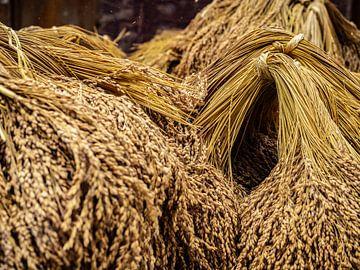 Récolte du riz sur Stijn Cleynhens