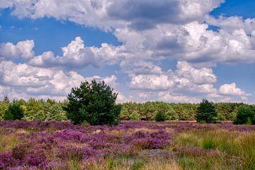 Violettes Heidekraut in Grün in Weerterheide von J..M de Jong-Jansen