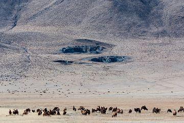 Kamelen in Mongolie