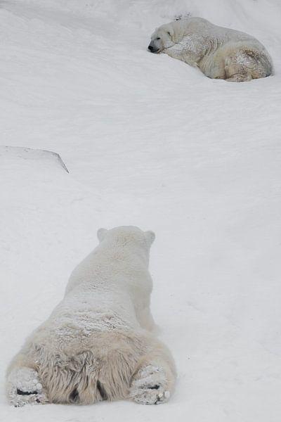 Rückansicht (von hinten, vom Hinterkopf aus) auf den Eisbären, aus der Sicht des Bären. Das Männchen von Michael Semenov