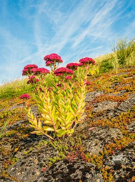 Rood bloeiende Hemelsleutel plant van Ruud Morijn