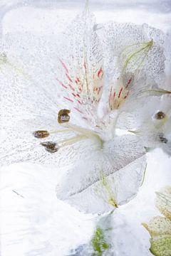 Alstroemeria in kristallklarem Eis 2 von Marc Heiligenstein