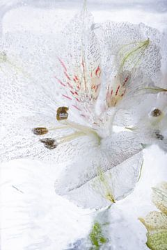 Alstroemeria in kristalhelder ijs 2 van Marc Heiligenstein
