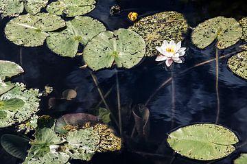 Wasserlilie von