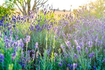Lavendel in bloei bij zonnig licht van Fotografiecor .nl