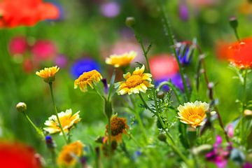 prairie de fleurs