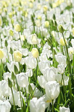 Witte tulpen, bollenveld van Wendy Tellier - Vastenhouw