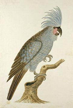 Kakadu von Robert Jacob Gordon - 1780