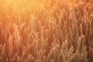 Graanveld in de ochtendzon van